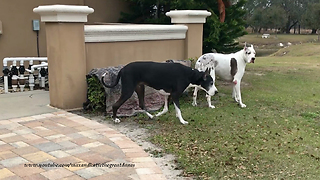Great Danes Get Ready for a Freezing Florida Night  - Video