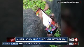 Chimp caught on camera scrolling through Instagram