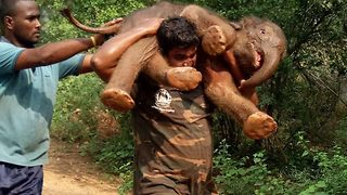 Adorable moment Indian forest official carries elephant calf on his shoulders to reunite it with its mother - Video