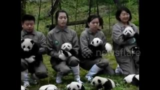36 panda cubs make public debut in China - Video
