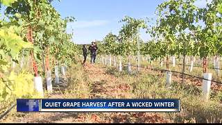 Quiet grape harvest after wicked Idaho winter - Video