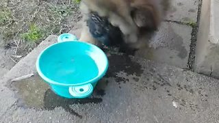 Chow puppy not sure what to do with water bowl - Video