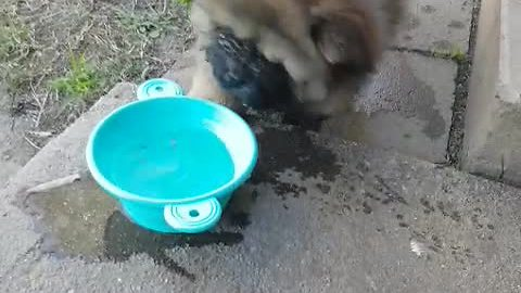 Chow puppy not sure what to do with water bowl