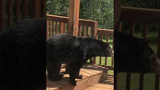 Black Bear Prowls About House Deck in Michigan - Video
