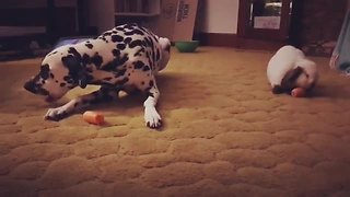 Dalmatian and bunny rabbit enjoy carrot snack