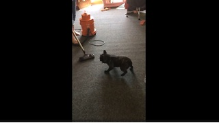 French Bulldog makes vacuuming extremely difficult - Video