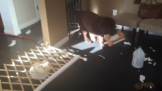 Puppy goes on hilariously adorable rampage for favorite toy