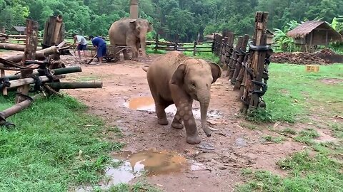 Clumsy baby elephant chases barking dog only to slip over and run away