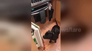 Dog grabs celery snack from the fridge all by himself
