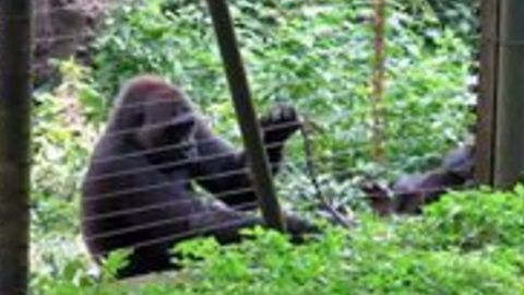 Rescued Gorilla Uses Stick to Help Reach Some Tasty Greens Outside Her Enclosure