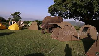 Massive elephant patrols safari campsite - Video