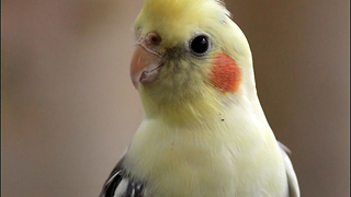 This bird sings to his reflection - Video