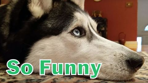 Cute Siberian Husky fascinated with dog movies