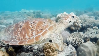 Majestic Sea Turtle Cruises Through Coral at Great Barrier Reef - Video