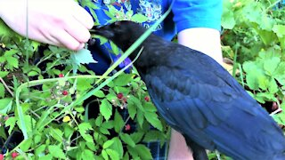 Young man teaches orphaned baby crows how to pick berries from a bush