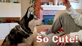 """Siberian Husky just can't say """"I love you"""" right."""