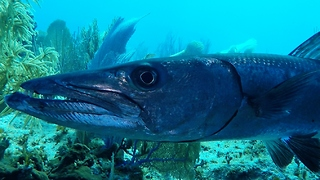 Battle-scarred barracuda watches over sunken GoPro