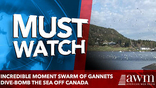 Incredible moment swarm of gannets dive-bomb the sea off Canada - Video