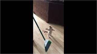 "Kitten just wants to ""help"" clean the house"