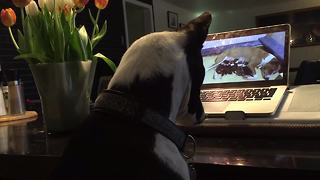 Dog fascinated by video of newborn puppies on laptop - Video
