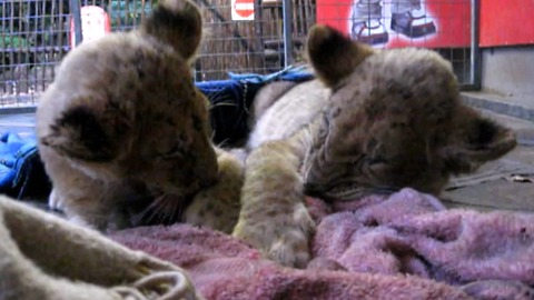 Adorable lion cubs try their best to stay awake