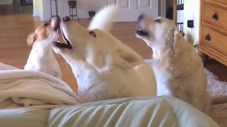 Trio of dogs engage in extreme howling contest - Video
