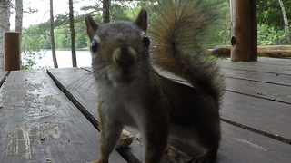 Red squirrel completely baffled by peanut prank