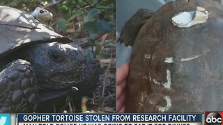 FWC: Gopher tortoise stolen from research facility to be 'eaten for dinner' - Video