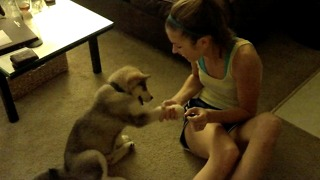 Cute puppy learns how to shake hands with his paw  - Video