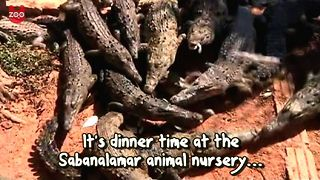 Cuban Crocodile Nursery - Video