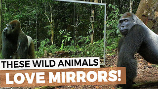 I Haven't Laughed This Hard In A While. Animals See Themselves In Mirror For The First Time