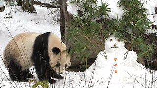 Adorable Panda Demolishes Snowman - Video