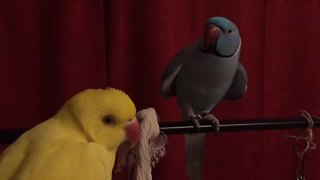 Parrot desperately attempts to capture female's attention - Video
