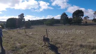 Female kangaroo is found with lower jaw blown off by suspected gunshot - Video