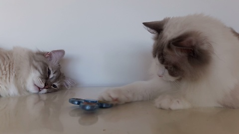 Cats introduced to fidget spinner, give surprising reaction
