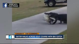Gator carries huge fish in its mouth across Fla. golf course - Video