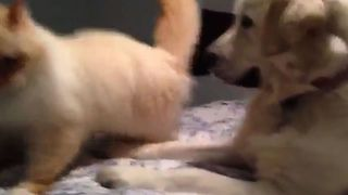 Doggy Bullies Cat Off The Bed - Video