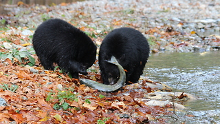 Wild Black Bear teachers cubs how to fish