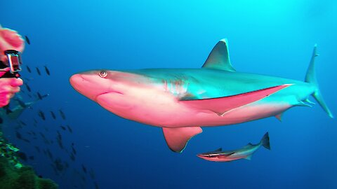 Sharks cause scuba divers to nearly wet their wet suits