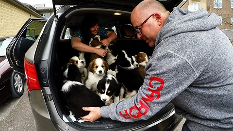 13 puppies loaded into car are a serious handful