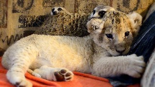 Unlikely Animal Friends: Cute Lion Cub and Meerkats - Video