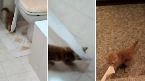 Adorable kitten tries to steal the toilet paper and take it all around in the house!
