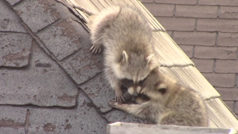 Raccoons slide down roof and play together