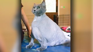 Fat Cat King Leo: Obese Feline On A Mission To Lose Weight - Video