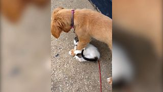 Golden Retriever Finds A New Wrestle Buddy