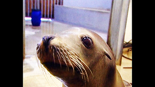 Seals Brush Teeth - Video