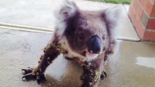 Thorn-Covered Koala Enjoys Helpful Brush From Neighbor - Video