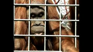 Whistling Orangutan - Video