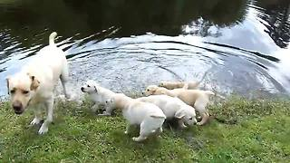 Labrador Father Teaches Puppies To Swim - Video