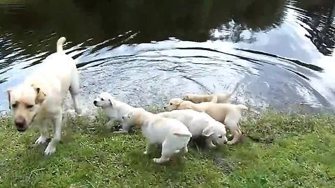 Labrador father teaches puppies to swim
